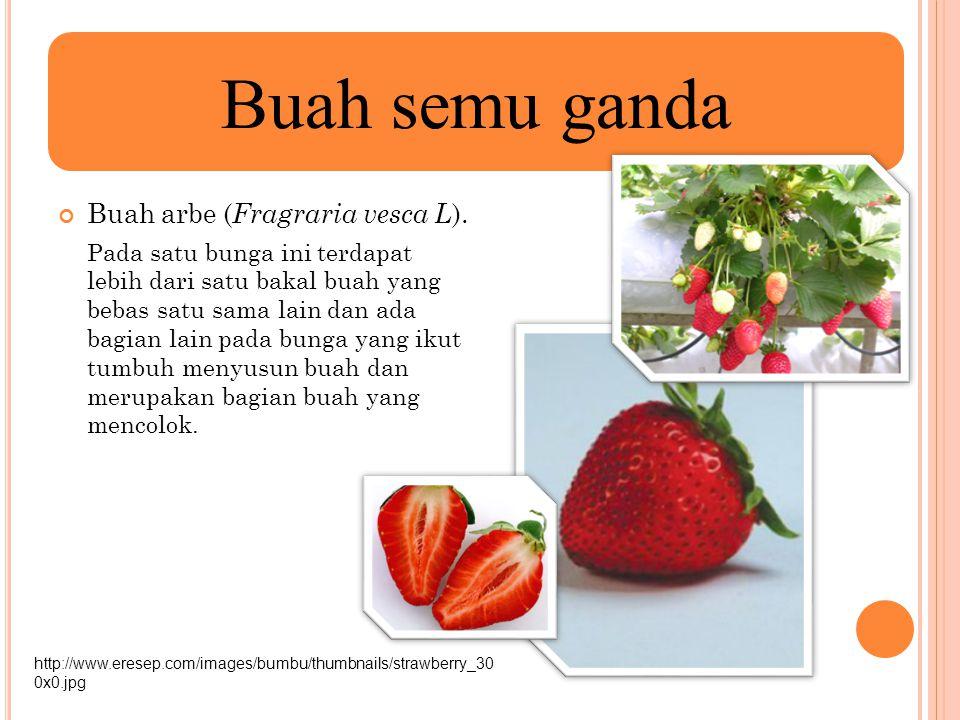 Buah arbe ( Fragraria vesca L ). Pada satu bunga ini terdapat lebih dari satu bakal buah yang bebas satu sama lain dan ada bagian lain pada bunga yang