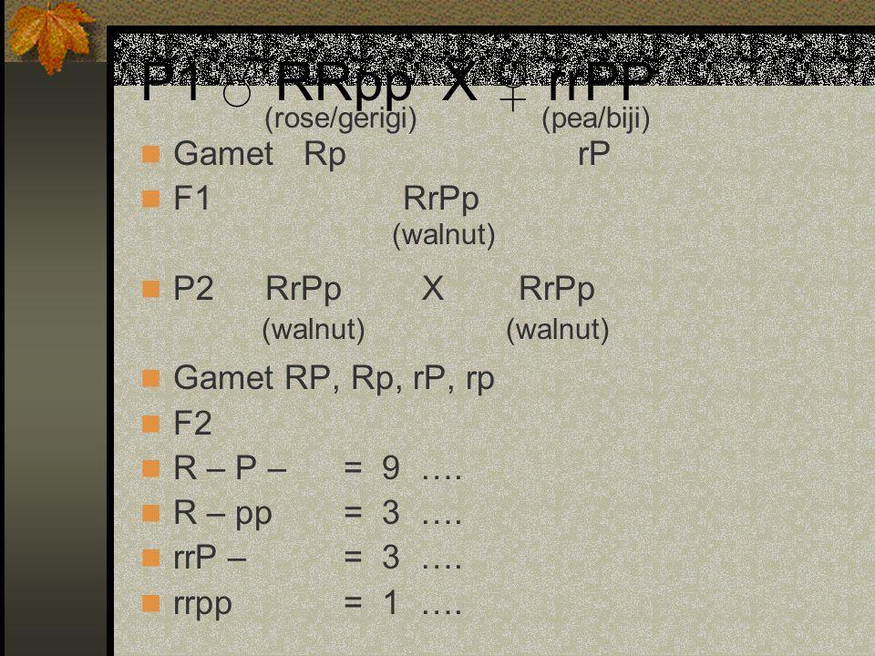 P1 ♂ RRpp X ♀ rrPP Gamet RprP F1RrPp P2 RrPp X RrPp Gamet RP, Rp, rP, rp F2 R – P – = 9 …. R – pp = 3 …. rrP – = 3 …. rrpp = 1 …. (rose/gerigi)(pea/bi