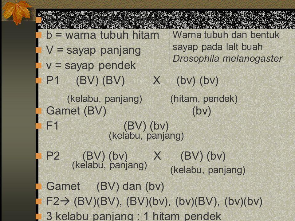B = warna tubuh kelabu b = warna tubuh hitam V = sayap panjang v = sayap pendek P1 (BV) (BV)X (bv) (bv) Gamet (BV) (bv) F1(BV) (bv) P2 (BV) (bv) X (BV