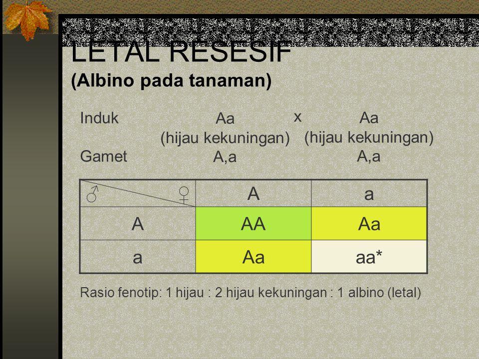 LETAL RESESIF (Albino pada tanaman) ♂ ♀Aa AAAAa a aa* Rasio fenotip: 1 hijau : 2 hijau kekuningan : 1 albino (letal) Induk Gamet Aa (hijau kekuningan)