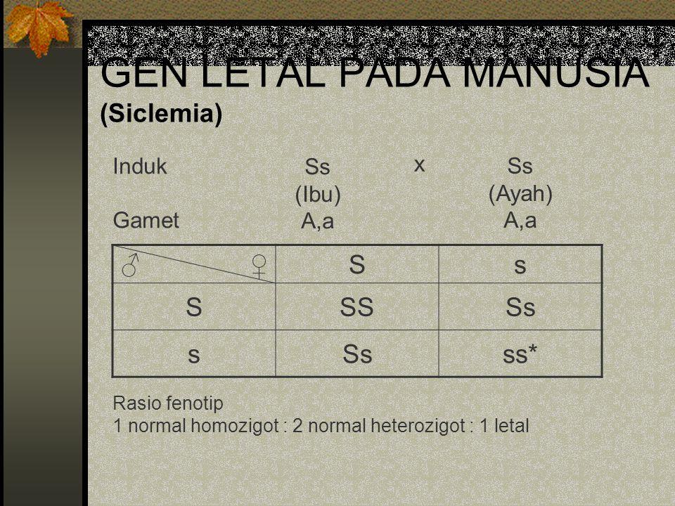 GEN LETAL PADA MANUSIA (Siclemia) Rasio fenotip 1 normal homozigot : 2 normal heterozigot : 1 letal ♂ ♀Ss SSSSs s ss* Induk Gamet Ss (Ibu) A,a Ss (Aya