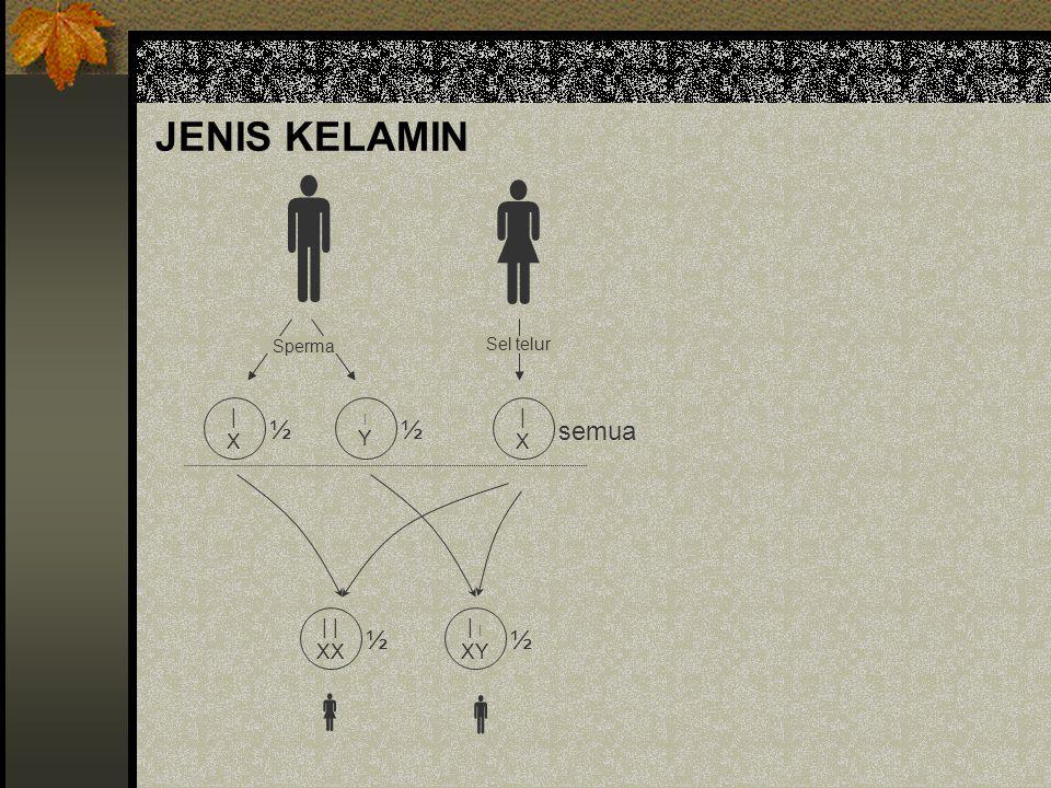 JENIS KELAMIN   |X|X |Y|Y |X|X Sperma Sel telur ½ ½ semua | XX ½ | XY ½  