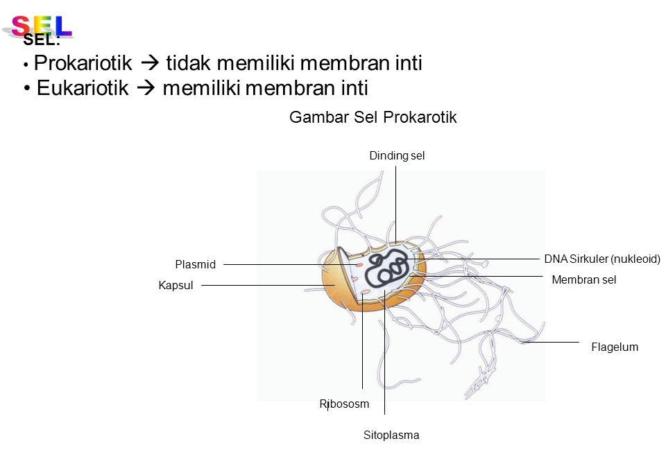 SEL: Prokariotik  tidak memiliki membran inti Eukariotik  memiliki membran inti Membran sel Sitoplasma Dinding sel Ribososm Flagelum DNA Sirkuler (n