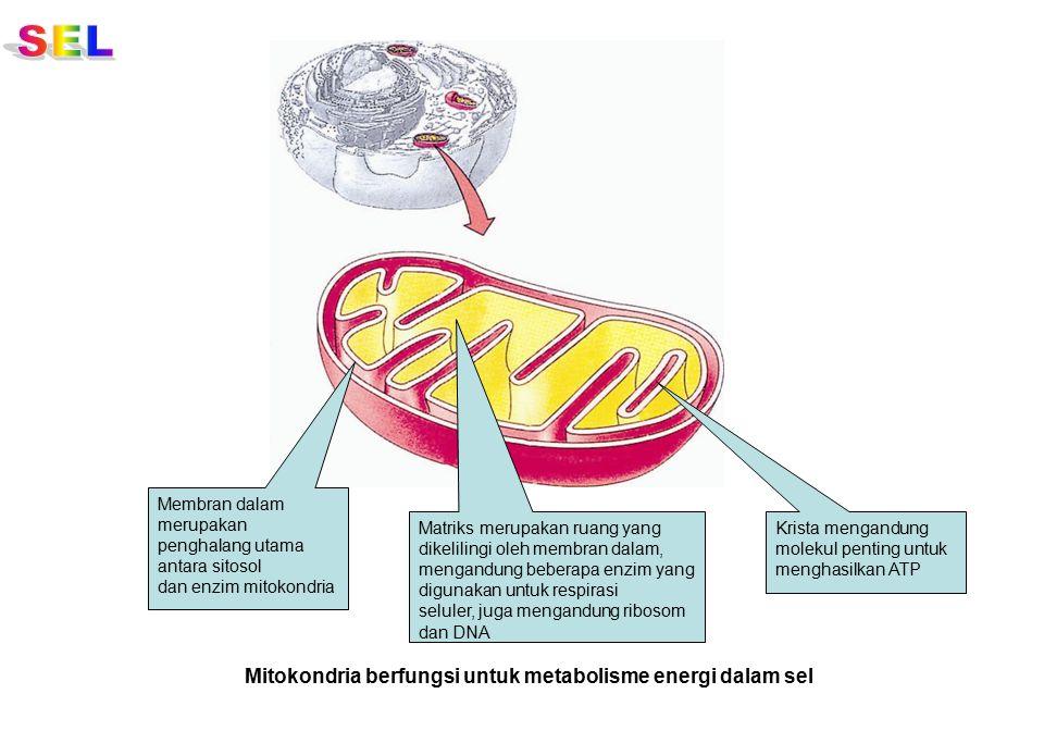 Membran dalam merupakan penghalang utama antara sitosol dan enzim mitokondria Matriks merupakan ruang yang dikelilingi oleh membran dalam, mengandung