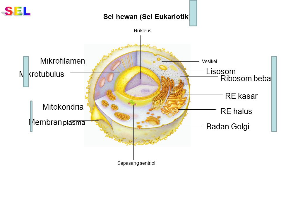 Badan Golgi Lisosom Vesikel Mikrofilamen Mikrotubulus Mitokondria Sepasang sentriol Membran plasma Nukleus RE kasar Ribosom bebas RE halus Sel hewan (