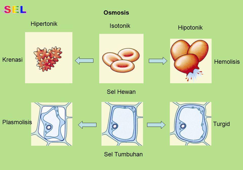 Pembentukan lisosom dan aktivitasnya Lisosom primer dihasilkan oleh badan Golgi Lisosom berfusi dengan suatu endosom Molekul- molekul kecil hasil pencernaan berdifusi ke dalam sitoplasma Materi yang tidak dicerna dibuang keluar sel saat terjadi fusi partikel dengan membran plasma Lingkungan intraseluler Badan Golgi Produk hasil cernaan Pencernaan partikel makanan Partikel makanan ditelan dengan endositosis Endosom Lingkungan ekstraseluler Membran plasma Partikel makanan