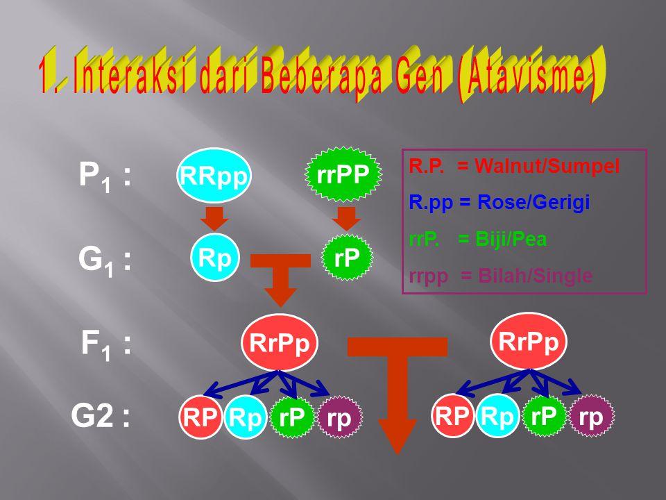 P 1 : G 1 : F 1 : RRpp Rp rrPP rP RrPp RPRp rprP RrPp G2 : R.P. = Walnut/Sumpel R.pp = Rose/Gerigi rrP. = Biji/Pea rrpp = Bilah/Single RPRp rprP