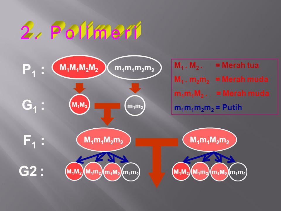 P 1 : G 1 : F 1 : M1M2M1M2 M1M2M1M2 M1m2M1m2 G2 : M 1. M 2. = Merah tua M 1. m 2 m 2 = Merah muda m 1 m 1 M 2. = Merah muda m 1 m 1 m 2 m 2 = Putih M1