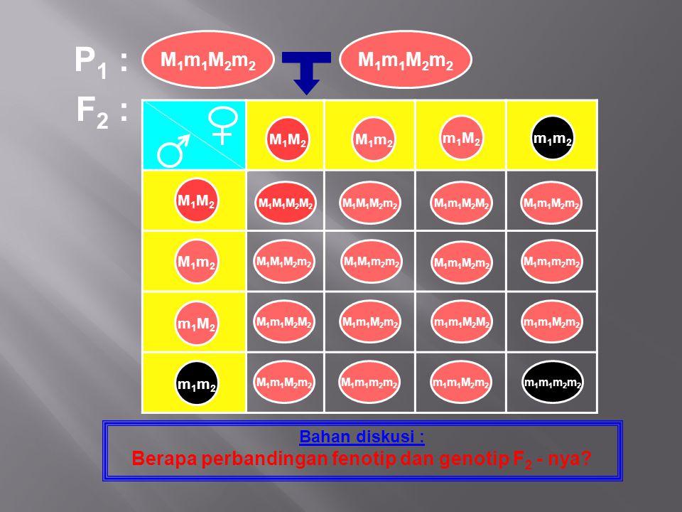F 2 : Bahan diskusi : Berapa perbandingan fenotip dan genotip F 2 - nya? P 1 : M1m1M2m2M1m1M2m2 M1m1M2m2M1m1M2m2 M1M2M1M2 M1m2M1m2 m1M2m1M2 m1m2m1m2 M