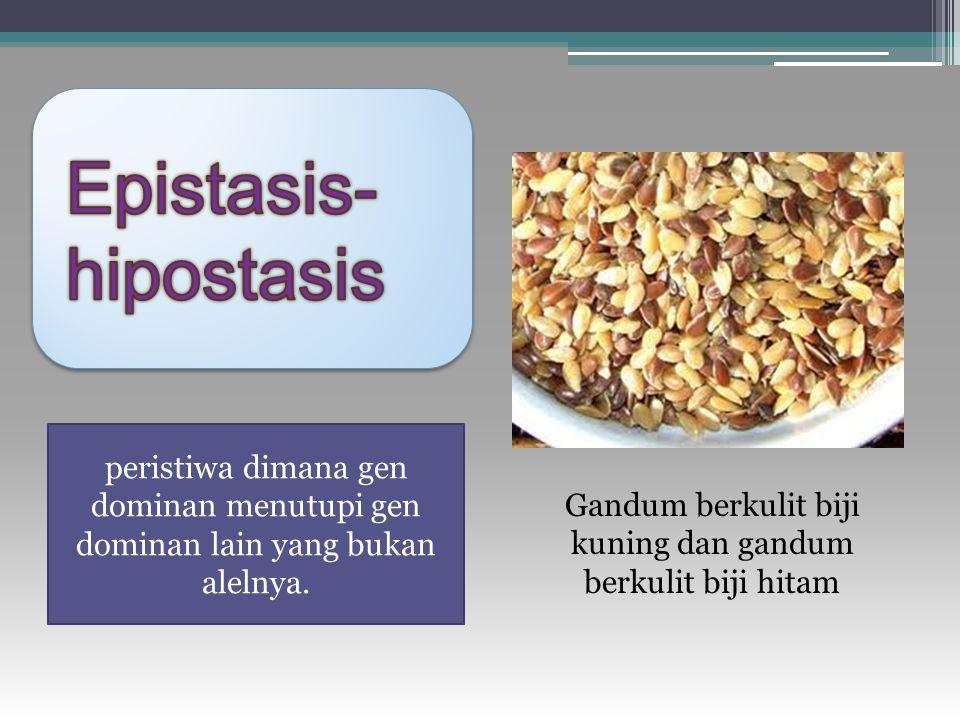 peristiwa dimana gen dominan menutupi gen dominan lain yang bukan alelnya. Gandum berkulit biji kuning dan gandum berkulit biji hitam
