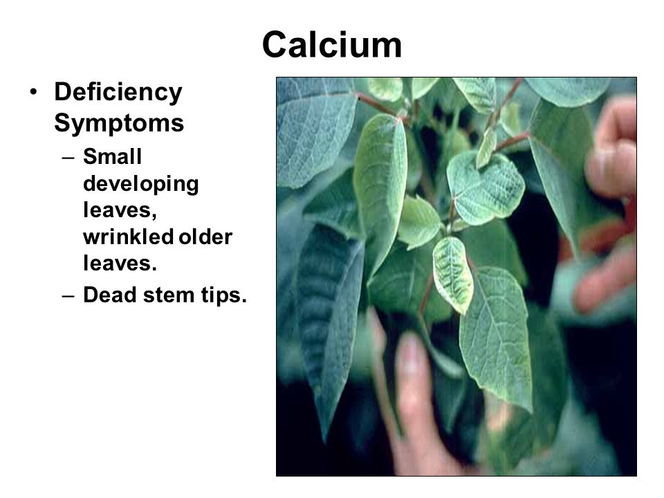 Calcium Deficiency Symptoms –Small developing leaves, wrinkled older leaves. –Dead stem tips.