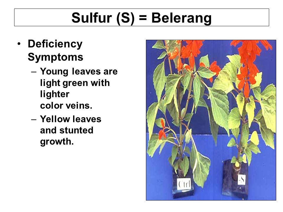 Sulfur (S) = Belerang Deficiency Symptoms –Young leaves are light green with lighter color veins.