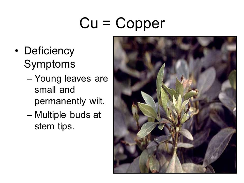 Cu = Copper Deficiency Symptoms –Young leaves are small and permanently wilt.
