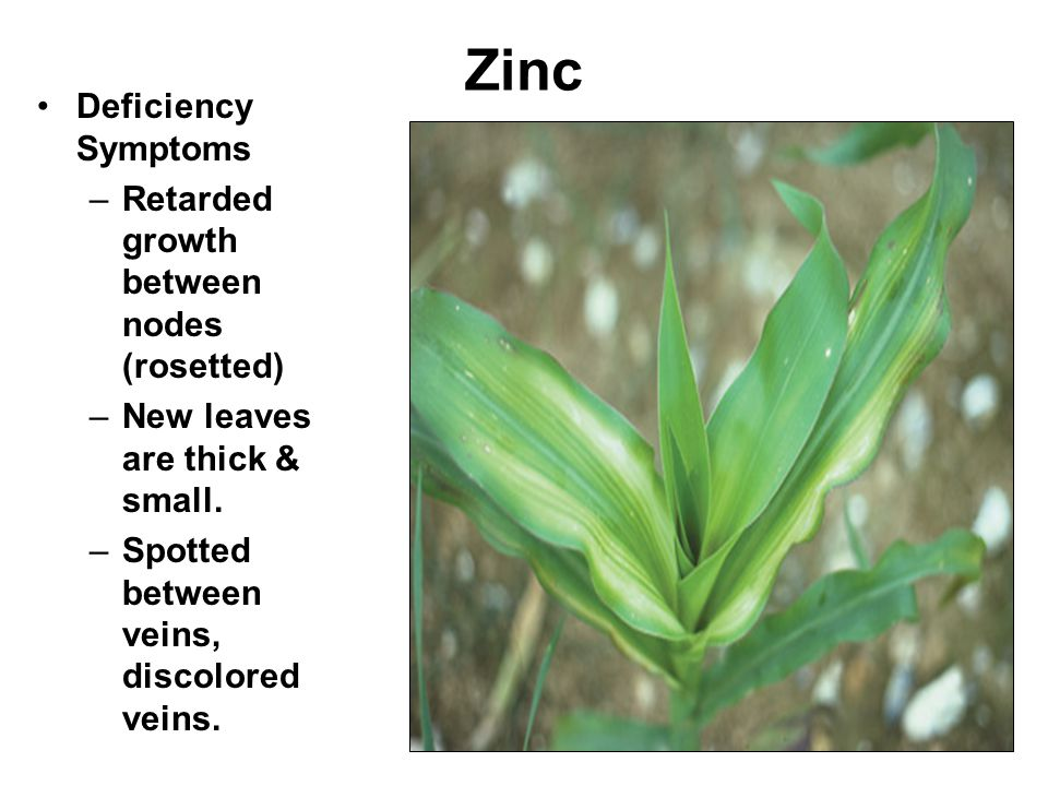 Zinc Deficiency Symptoms –Retarded growth between nodes (rosetted) –New leaves are thick & small.