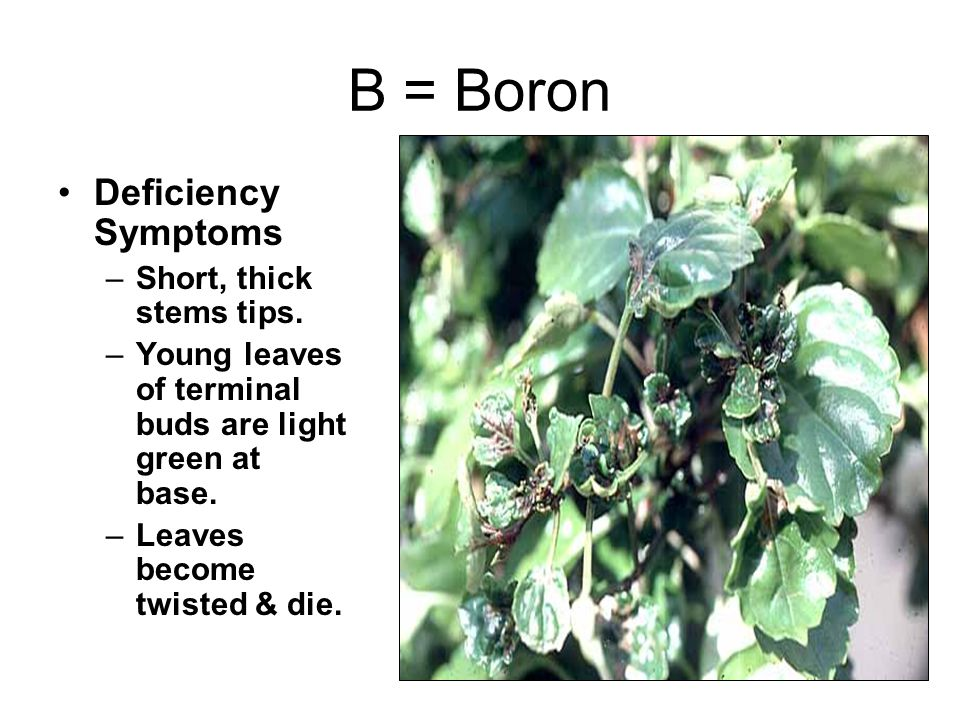 B = Boron Deficiency Symptoms –Short, thick stems tips.