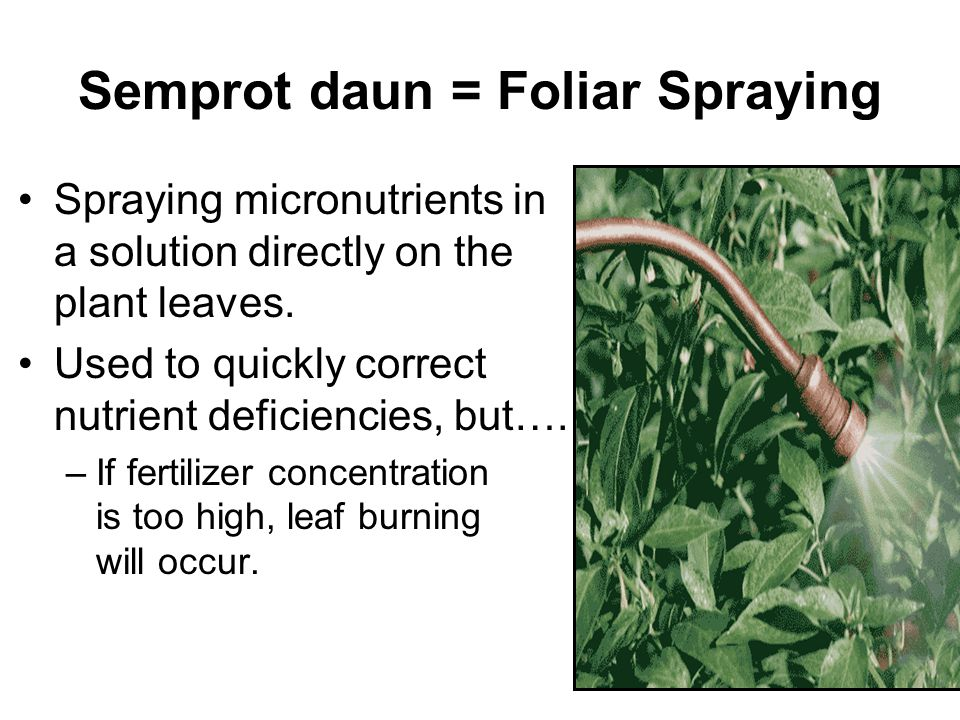 Semprot daun = Foliar Spraying Spraying micronutrients in a solution directly on the plant leaves.