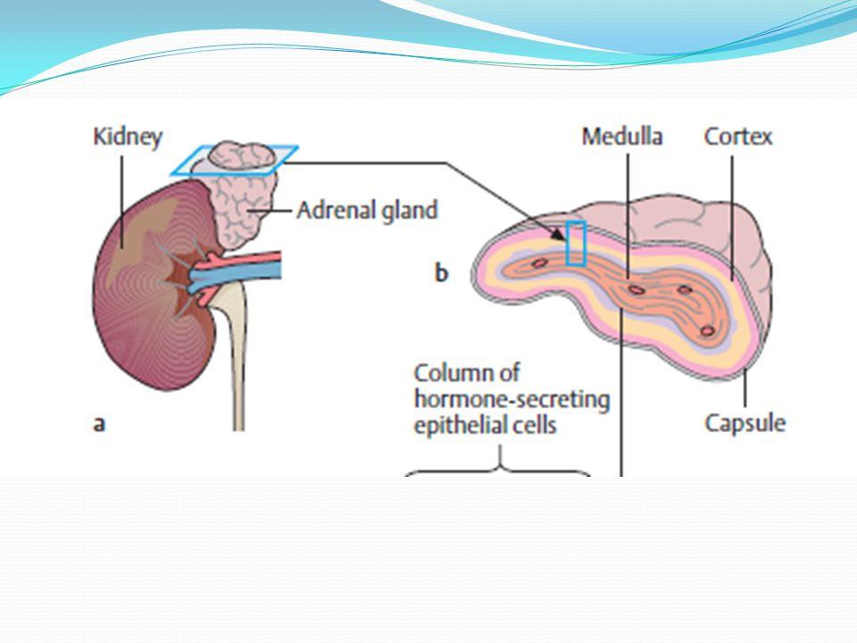 Glucocorticoid alami cortisol (hydrocortisone) Disintesis dari cholesterol Sekresi kortisol mencapai puncak pada dini hari dan sesudah makan Memiliki peranan pada regulasi metabolisme perantara, fungsi kardiovaskular, pertumbuhan, dan imunitas