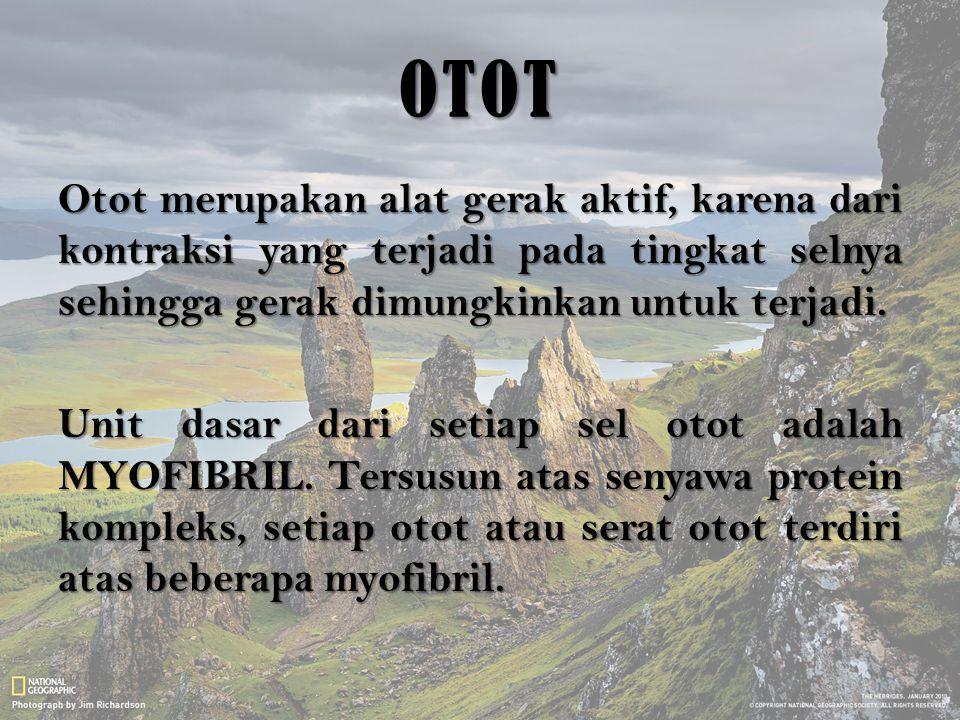 OTOT Otot merupakan alat gerak aktif, karena dari kontraksi yang terjadi pada tingkat selnya sehingga gerak dimungkinkan untuk terjadi. Unit dasar dar