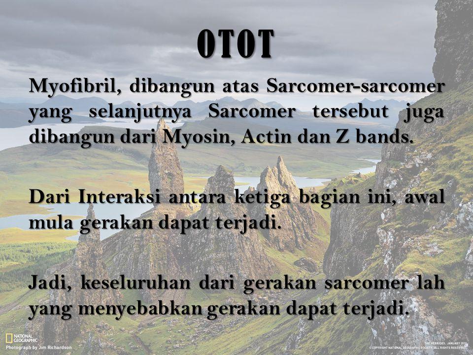 OTOT Myofibril, dibangun atas Sarcomer-sarcomer yang selanjutnya Sarcomer tersebut juga dibangun dari Myosin, Actin dan Z bands. Dari Interaksi antara