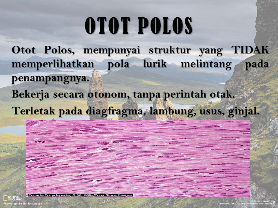 OTOT POLOS Otot Polos, mempunyai struktur yang TIDAK memperlihatkan pola lurik melintang pada penampangnya. Bekerja secara otonom, tanpa perintah otak