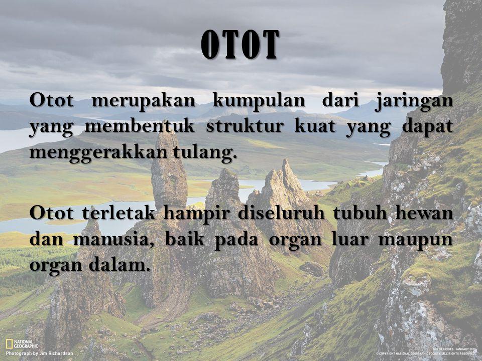 OTOT Otot merupakan kumpulan dari jaringan yang membentuk struktur kuat yang dapat menggerakkan tulang. Otot terletak hampir diseluruh tubuh hewan dan
