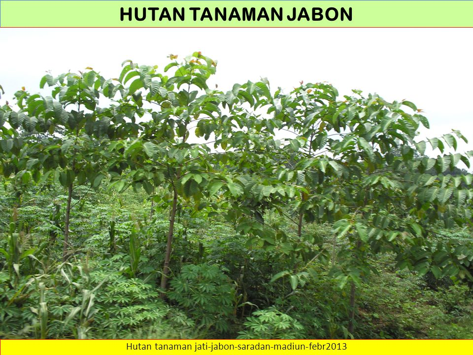 HUTAN TANAMAN Sumber: … http://webdocs.dow.wur.nl/internet/fem/uk/trees/swimacf.pdf HABITAT pH-KCl maximum 7.0 and minimum 4.0 Soil fertility : It tolerates soils ranging from deep, poorly drained, acid clays of the wooded swamps, to well drained alkaline soils of the limestone uplands.