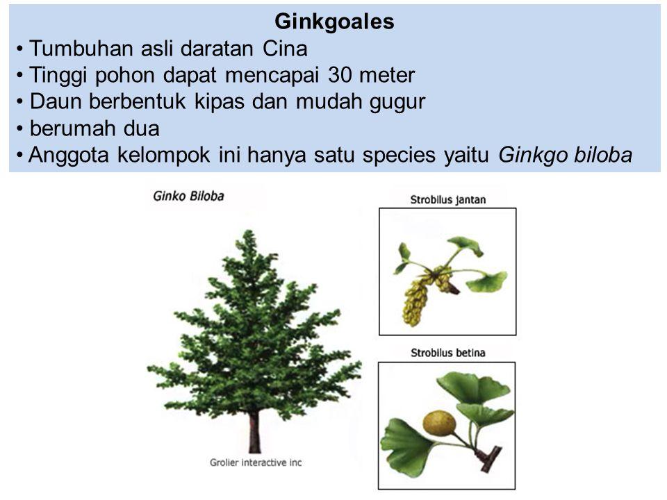 Ginkgoales Tumbuhan asli daratan Cina Tinggi pohon dapat mencapai 30 meter Daun berbentuk kipas dan mudah gugur berumah dua Anggota kelompok ini hanya
