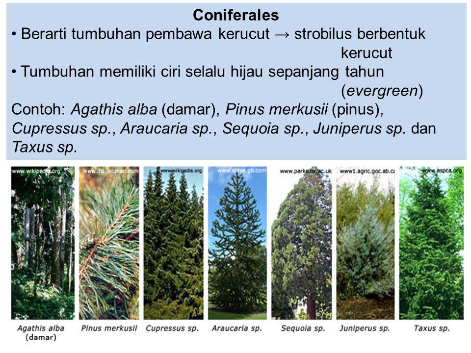 Coniferales Berarti tumbuhan pembawa kerucut → strobilus berbentuk kerucut Tumbuhan memiliki ciri selalu hijau sepanjang tahun (evergreen) Contoh: Aga
