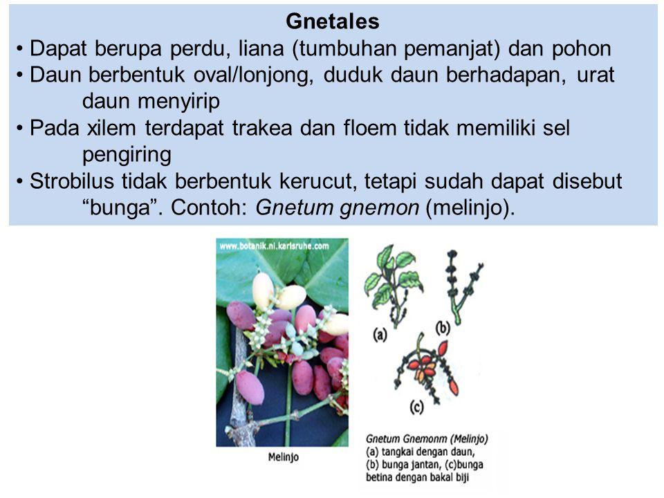 Gnetales Dapat berupa perdu, liana (tumbuhan pemanjat) dan pohon Daun berbentuk oval/lonjong, duduk daun berhadapan, urat daun menyirip Pada xilem ter