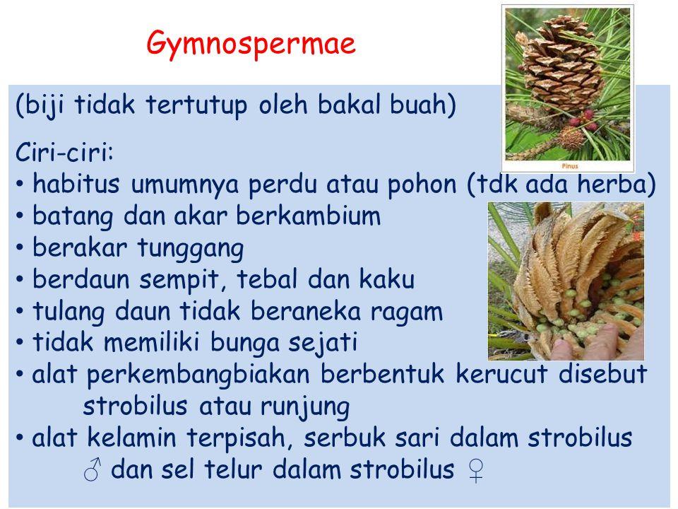 Gymnospermae (biji tidak tertutup oleh bakal buah) Ciri-ciri: habitus umumnya perdu atau pohon (tdk ada herba) batang dan akar berkambium berakar tung