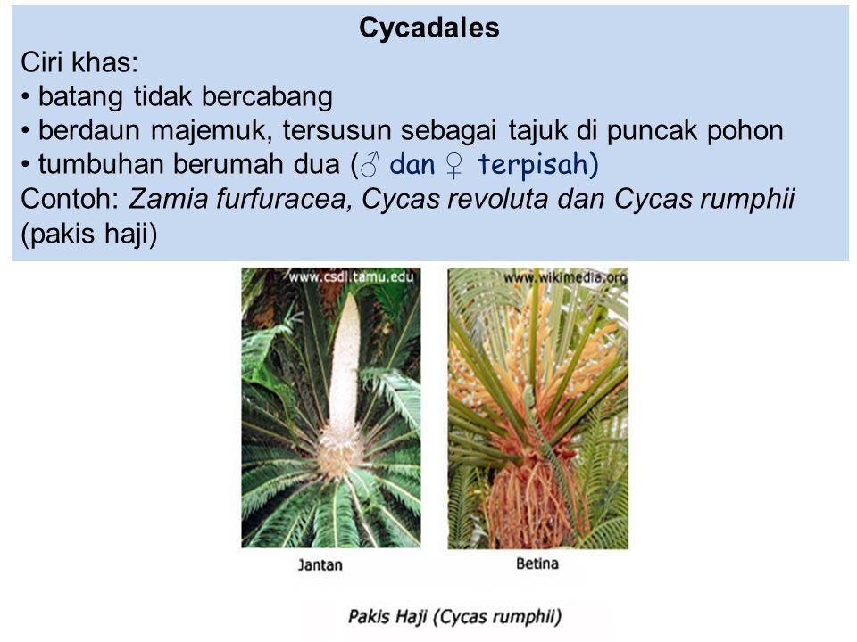 Cycadales Ciri khas: batang tidak bercabang berdaun majemuk, tersusun sebagai tajuk di puncak pohon tumbuhan berumah dua (♂ dan ♀ terpisah) Contoh: Za
