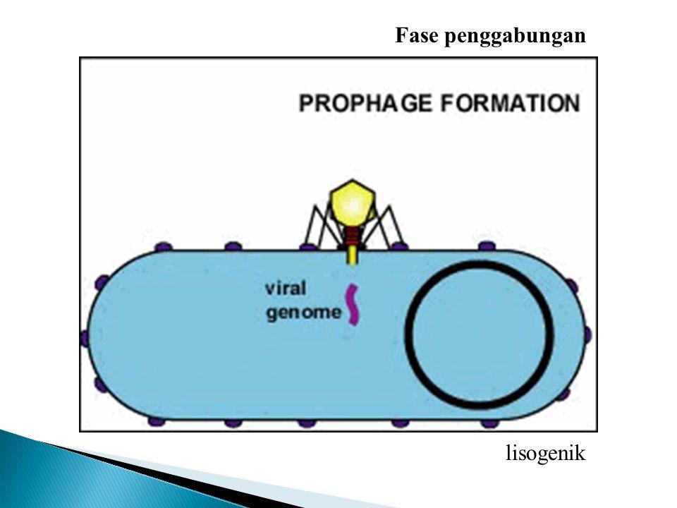 lisogenik Fase injeksi