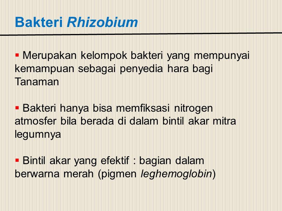 Bakteri Rhizobium  Merupakan kelompok bakteri yang mempunyai kemampuan sebagai penyedia hara bagi Tanaman  Bakteri hanya bisa memfiksasi nitrogen at