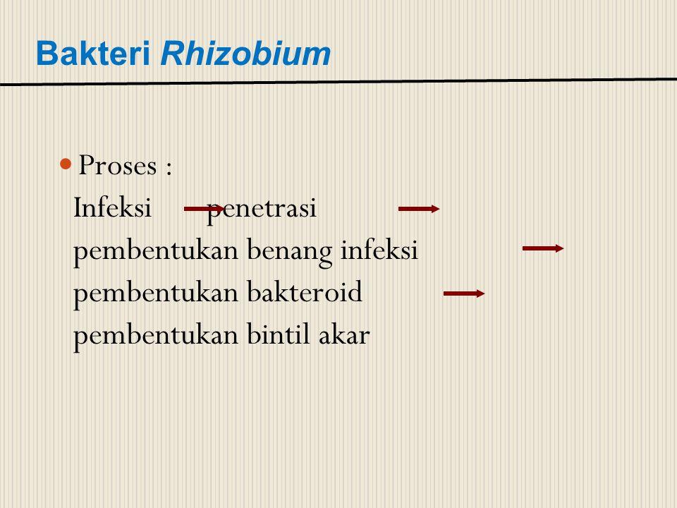 Bakteri Rhizobium Proses : Infeksi penetrasi pembentukan benang infeksi pembentukan bakteroid pembentukan bintil akar