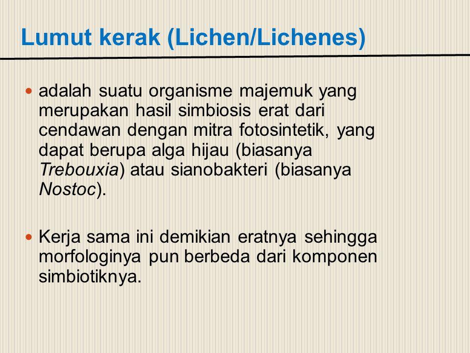 Lumut kerak (Lichen/Lichenes) adalah suatu organisme majemuk yang merupakan hasil simbiosis erat dari cendawan dengan mitra fotosintetik, yang dapat b