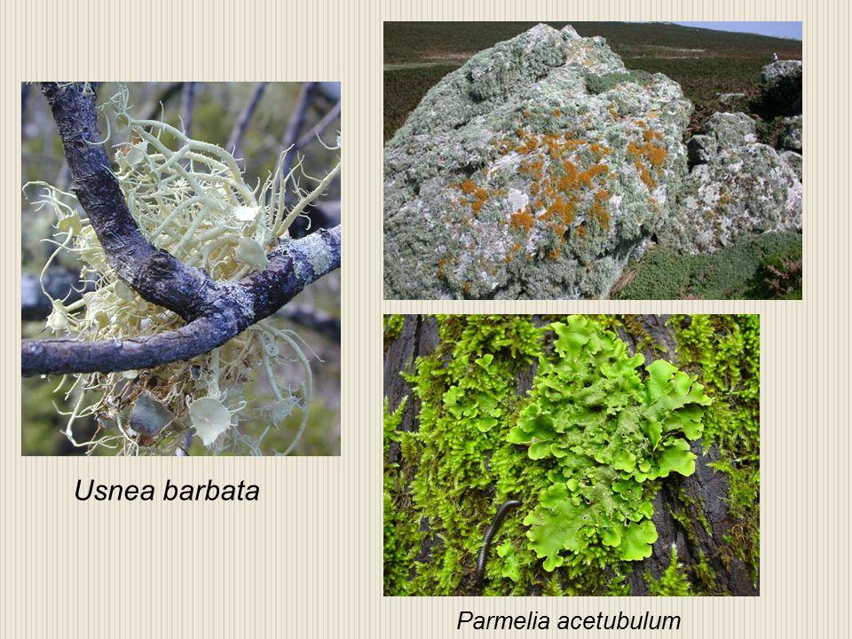 Usnea barbata Parmelia acetubulum