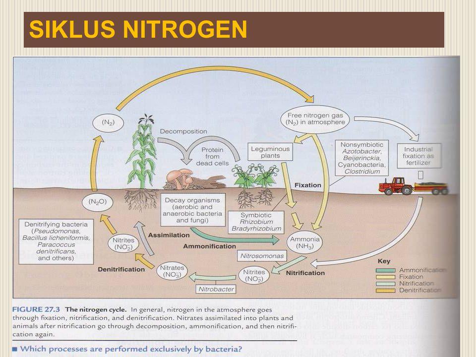 Bakteri Rhizobium  Merupakan kelompok bakteri yang mempunyai kemampuan sebagai penyedia hara bagi Tanaman  Bakteri hanya bisa memfiksasi nitrogen atmosfer bila berada di dalam bintil akar mitra legumnya  Bintil akar yang efektif : bagian dalam berwarna merah (pigmen leghemoglobin)