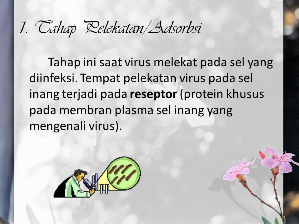 1. Tahap Pelekatan/Adsorbsi Tahap ini saat virus melekat pada sel yang diinfeksi. Tempat pelekatan virus pada sel inang terjadi pada reseptor (protein