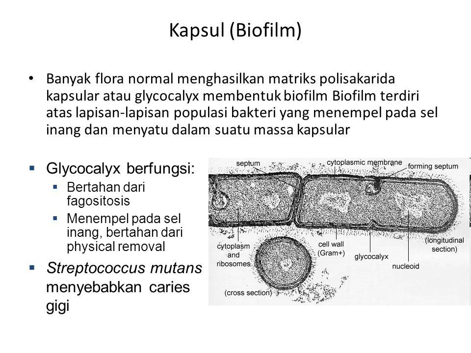 Kapsul (Biofilm) Banyak flora normal menghasilkan matriks polisakarida kapsular atau glycocalyx membentuk biofilm Biofilm terdiri atas lapisan-lapisan populasi bakteri yang menempel pada sel inang dan menyatu dalam suatu massa kapsular  Glycocalyx berfungsi:  Bertahan dari fagositosis  Menempel pada sel inang, bertahan dari physical removal  Streptococcus mutans menyebabkan caries gigi