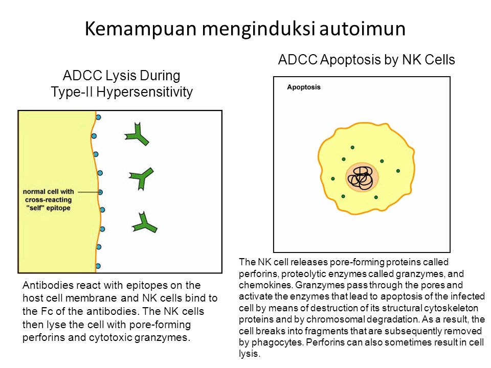 Kemampuan menginduksi autoimun ADCC Lysis During Type-II Hypersensitivity Antibodies react with epitopes on the host cell membrane and NK cells bind to the Fc of the antibodies.