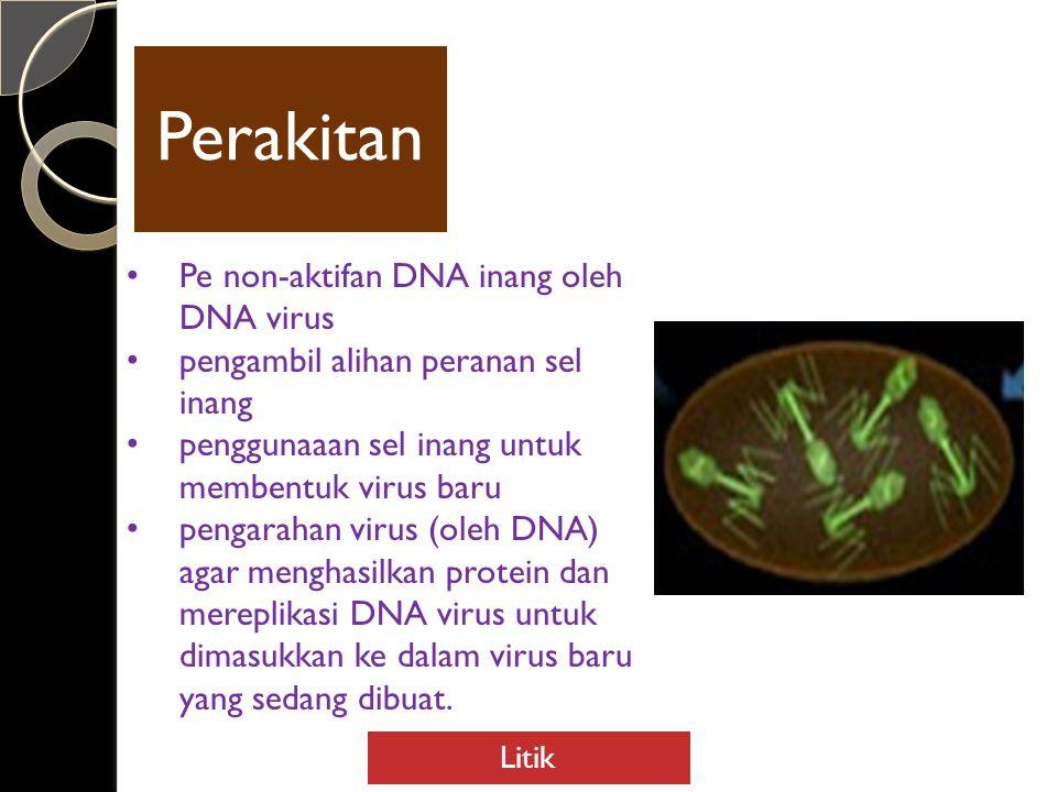 Perakita n Pe non-aktifan DNA inang oleh DNA virus pengambil alihan peranan sel inang penggunaaan sel inang untuk membentuk virus baru pengarahan virus (oleh DNA) agar menghasilkan protein dan mereplikasi DNA virus untuk dimasukkan ke dalam virus baru yang sedang dibuat.