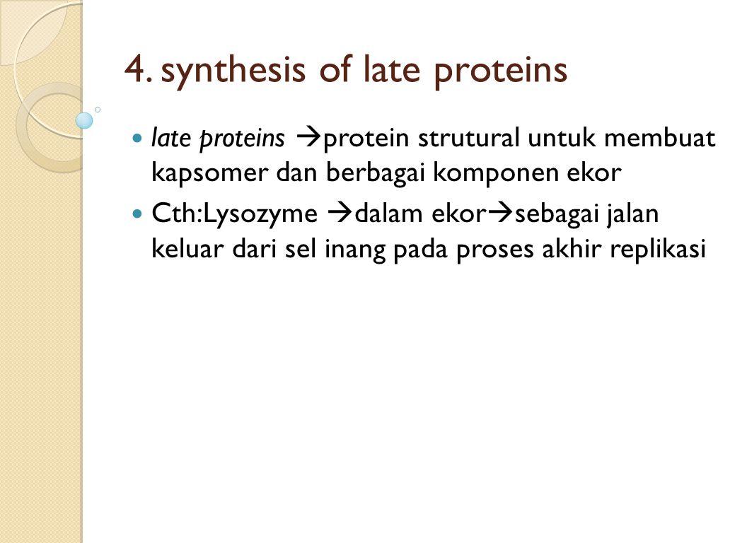 4. synthesis of late proteins late proteins  protein strutural untuk membuat kapsomer dan berbagai komponen ekor Cth:Lysozyme  dalam ekor  sebagai