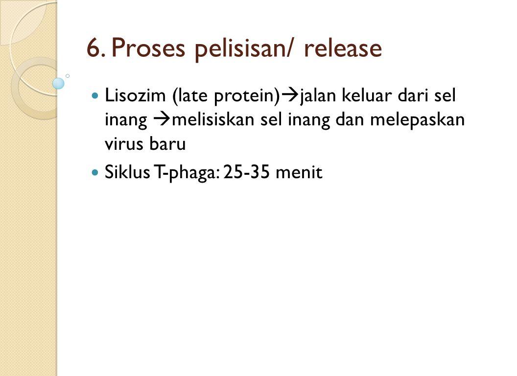 6. Proses pelisisan/ release Lisozim (late protein)  jalan keluar dari sel inang  melisiskan sel inang dan melepaskan virus baru Siklus T-phaga: 25-