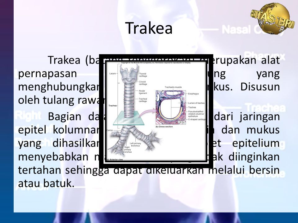 Trakea (batang tenggorokan) merupakan alat pernapasan berbentuk tabung yang menghubungkan laring dengan bronkus. Disusun oleh tulang rawan berbentuk h