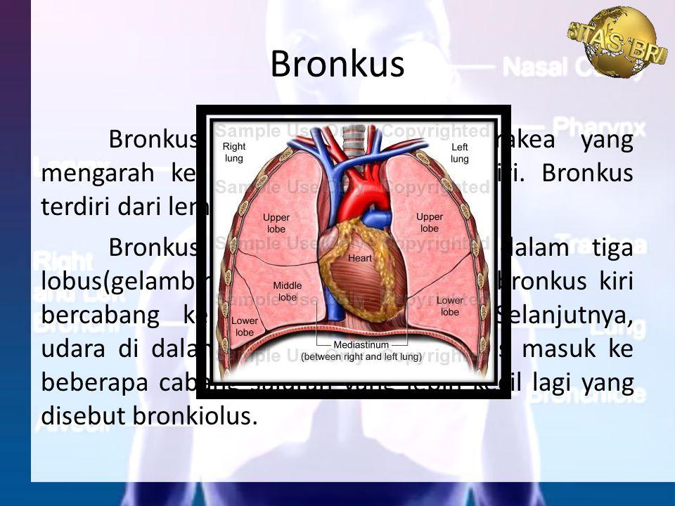 Bronkus merupakan cabang trakea yang mengarah ke paru-paru kanan dan kiri. Bronkus terdiri dari lempengan tulang rawan. Bronkus kanan bercabang ke dal