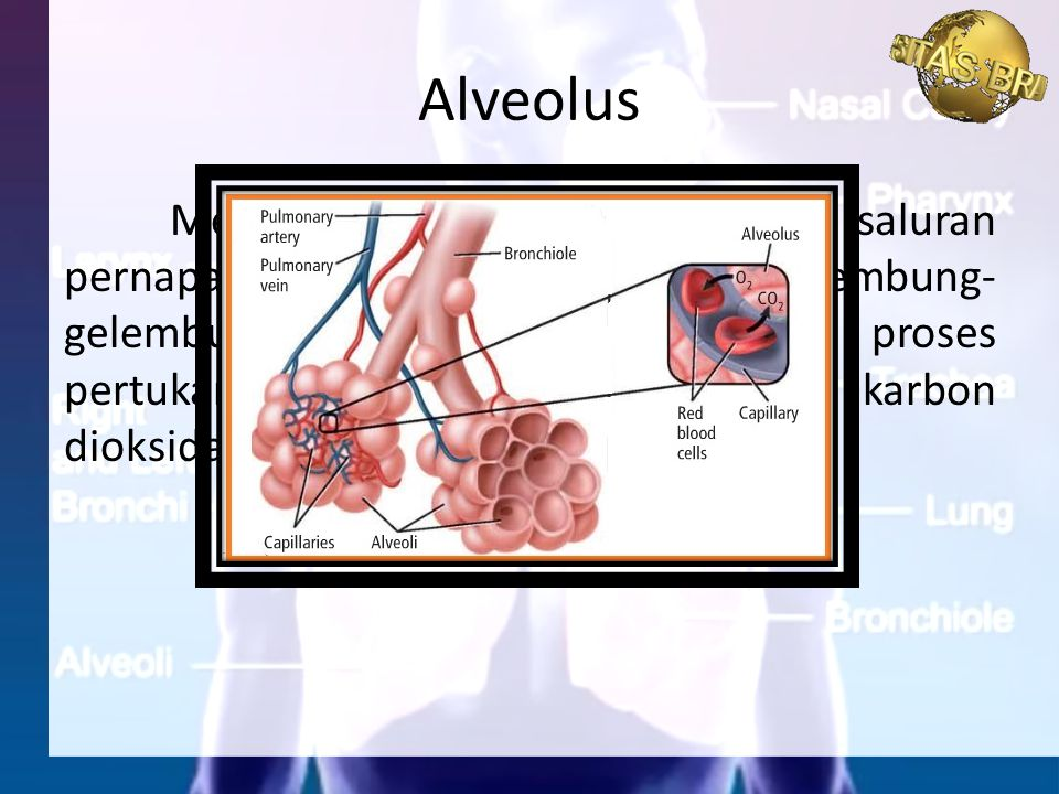 Pertukaran gas pada manusia, seperti halnya vertebrata yang lain terjadi dalam tiga fase, yaitu bernafas, transpor gas melalui sistem peredaran darah, dan pertukaran gas kapiler darah dan sel-sel tubuh Mekanisme Pertukaran Gas di Dalam Tubuh