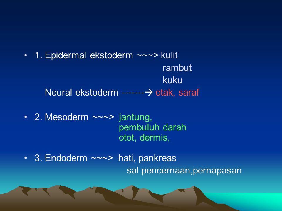 1. Epidermal ekstoderm ~~~> kulit rambut kuku Neural ekstoderm -------  otak, saraf 2. Mesoderm ~~~> jantung, pembuluh darah otot, dermis, 3. Endoder
