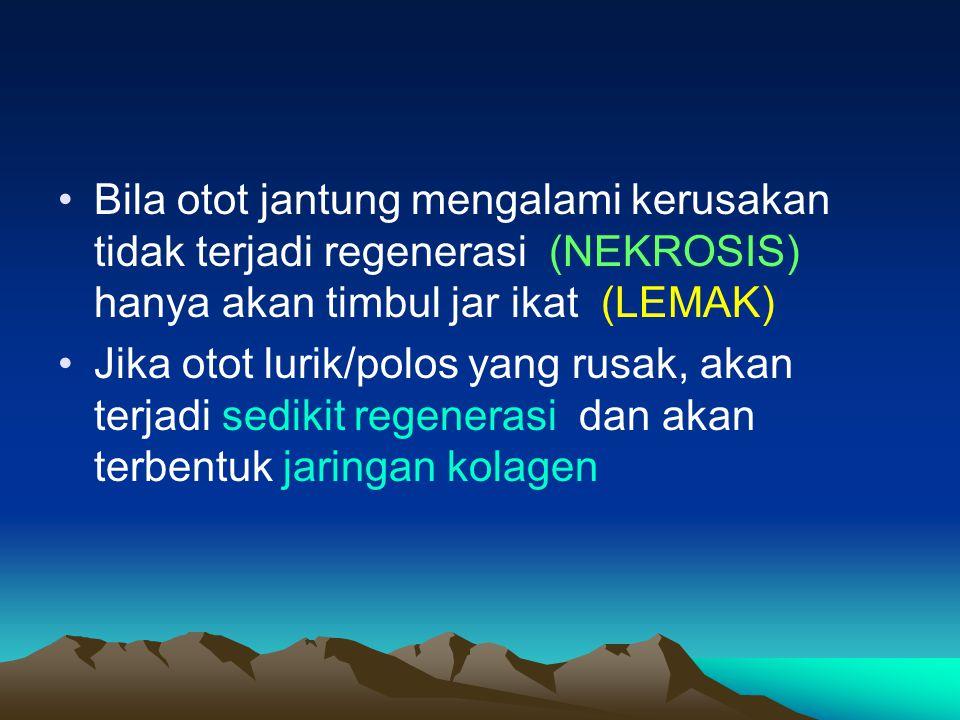 Bila otot jantung mengalami kerusakan tidak terjadi regenerasi (NEKROSIS) hanya akan timbul jar ikat (LEMAK) Jika otot lurik/polos yang rusak, akan te