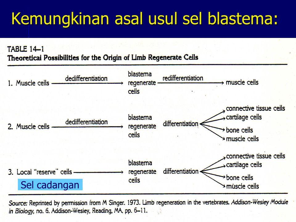 Kemungkinan asal usul sel blastema: Sel cadangan