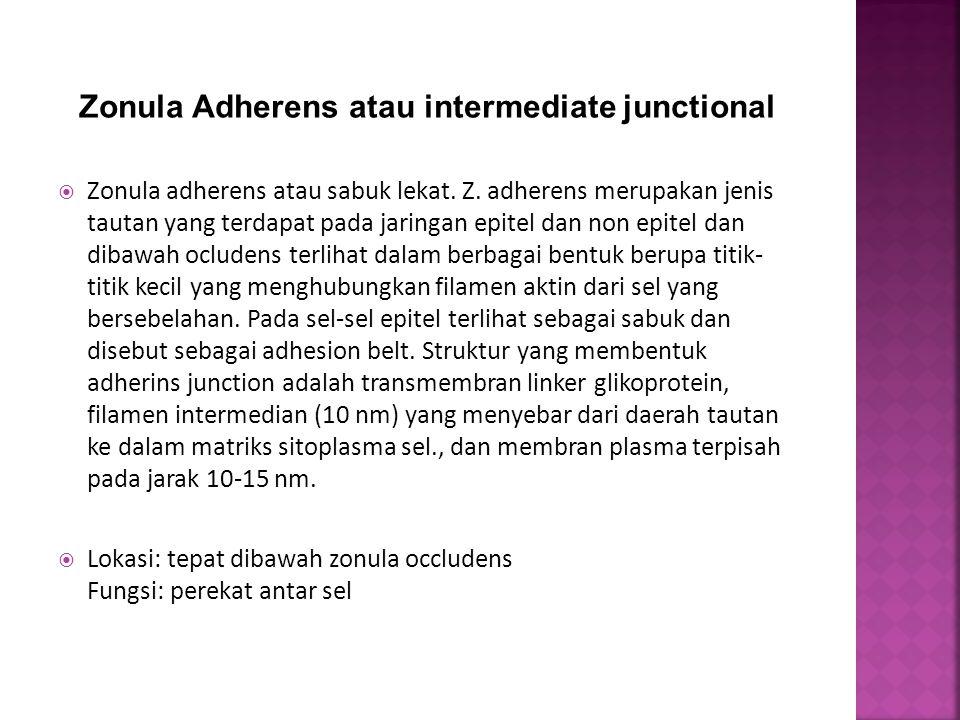  Zonula adherens atau sabuk lekat. Z. adherens merupakan jenis tautan yang terdapat pada jaringan epitel dan non epitel dan dibawah ocludens terlihat
